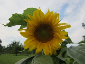 Sunflower in green grass with trees in the background and blue sky with white clouds above.